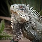 Iguana close up by Ralph Goldsmith
