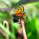 Small Copper Butterfly by Russell Couch