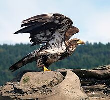 Bald Eagle Ready For Flight by naturediver