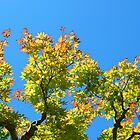Japanese Maple and Blue Sky by KingstonPrints