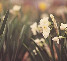 Daffodils  by Tracy Jones