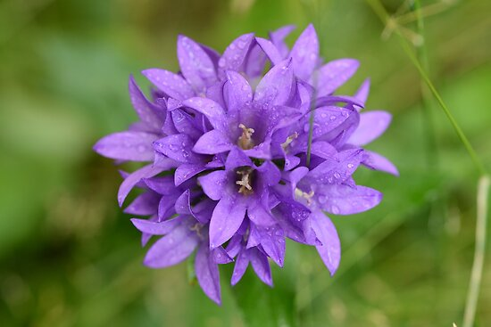 lavender flower purple macro D800 by Jason Franklin