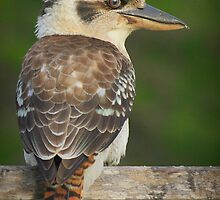 Mr. Kookaburra ... a regular viitor by myraj