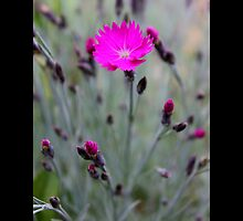Dianthus Feuerhexe - Carnation Pink Fire Witch - Upper Brookville, New York by © Sophie Smith