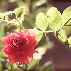 Miniature rose by Lynn Starner