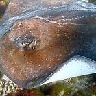My friend the stingray by globeboater