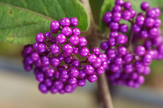 Purple Berries by Clare Colins