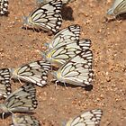 Can you get a gaggle of butterflies ? by Graeme Mockler