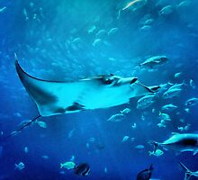 Manta Stingray by RickDavis