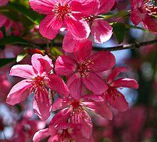 Apple Blossoms by kkmarais