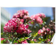 Roses - Union Square, San Francisco Poster