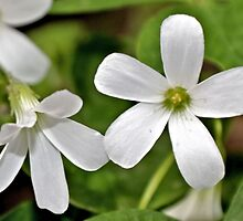 Oxalis in White by aprilann