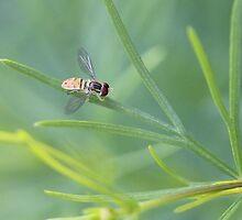 Hoverfly by Sheryl Hopkins