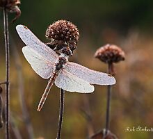 Dragonfly by Rick Stockwell