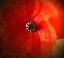 Flaming Red poppy by walstraasart