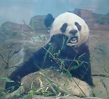 Panda Eating by bethscherm