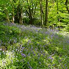 Bluebell Woods. by Dave Staton