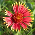 Indian Blanket by Ron Russell