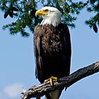Majestic Bald Eagle by naturediver
