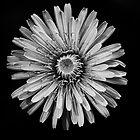 Dandelion by Eunice Gibb