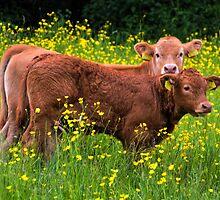 Twin Calves by lynn carter
