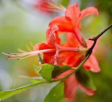 Native Flame Azalea by KSKphotography