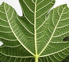 Fig Leave by Henrik Lehnerer
