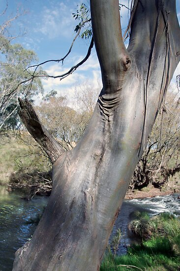A Gum tree by the river by Clare Colins