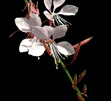 Blushing Gaura by Sharon Woerner