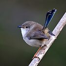 Cutie - Superb Fairy Wren in Eclipse State_Towarri NP  by Alwyn Simple
