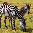 A blending of stripes -   Zebra and Foal (Equus Hippotigris ) Ngorongoro Crater Tanzania by john  Lenagan