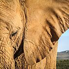 Elephant Profile by Fiona Ayerst
