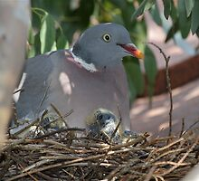 Wood Pigeon Family by dilouise
