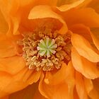 Orange Poppy by Jennifer J Watson