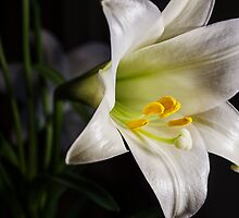 The Easter Lily by LeesDynasty