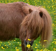 Tod Miniature Shetland Pony by lynn carter