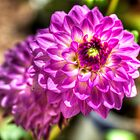 Blooming Dahlia by Ray Chiarello