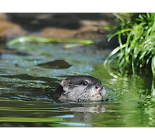 Small Clawerd Otter in water. Photographic Print
