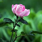 Pink Knock Out Rose by Christine  McClung