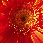 Glowing Gerbera by blumecreations