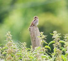 House Sparrow - Passer domesticus by Lauren Tucker