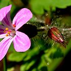 Herb Robert by Photography  by Mathilde