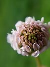 Wild White Clover by Kathleen Daley
