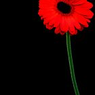 Red Gerbera (2) by LeJour