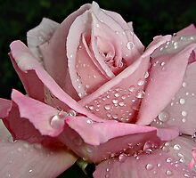 """Rainy Day Rose of Love"" by Gail Jones"
