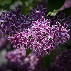 Lilacs by PhotosByHealy
