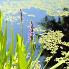Pickerelweed by Dawne Dunton
