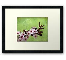 Sand Cherry In Bloom Framed Print