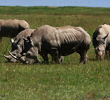 Four White Rhino  by aidan  moran