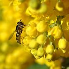 Hoverfly on Oregon Grape by Ekl75